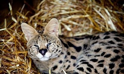 Meet the African Big Cats for Two 1