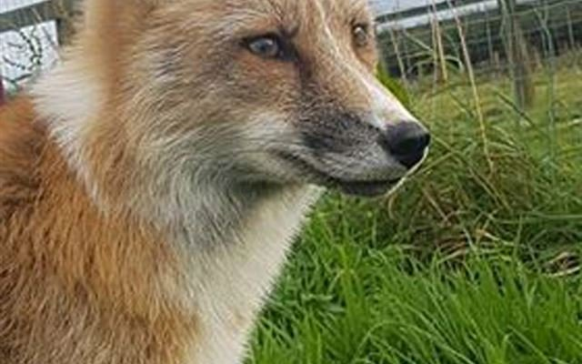 Fox Encounter for Two at Ark Wildlife Park 1