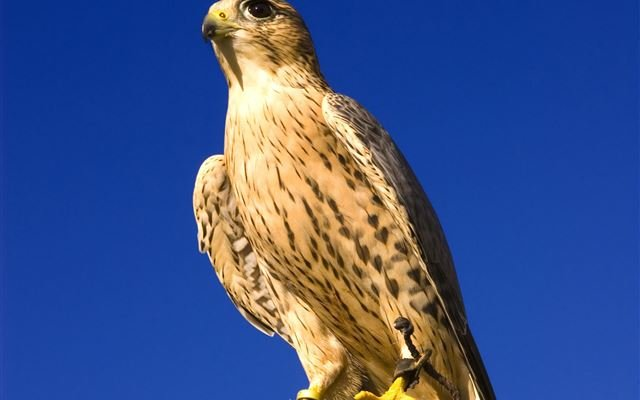Half Day Introduction to Falconry 1